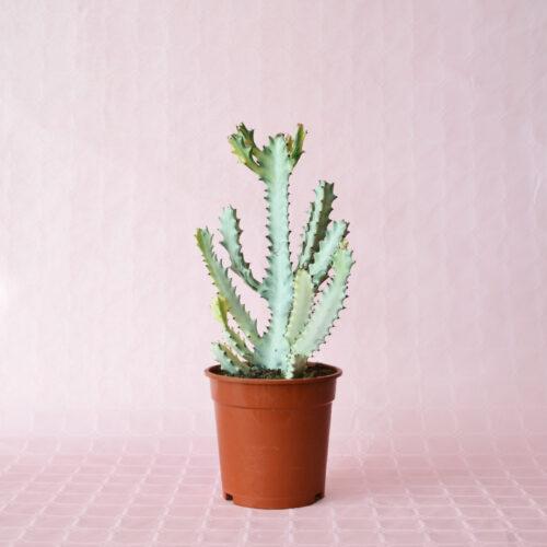 euphorbia lactea white ghost vaso 17