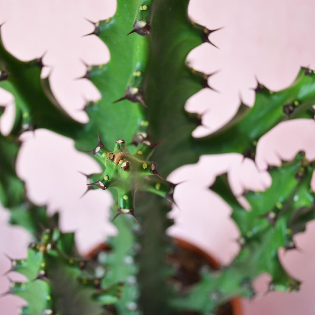 Euphorbia mayurnathanii vaso 17