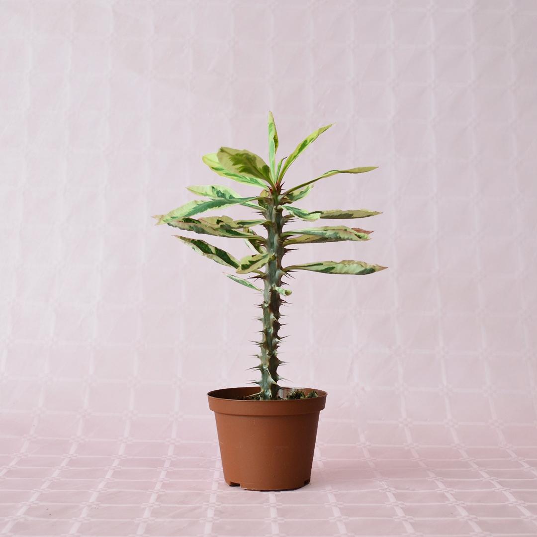 Euphorbia milii variegata vaso 10,5