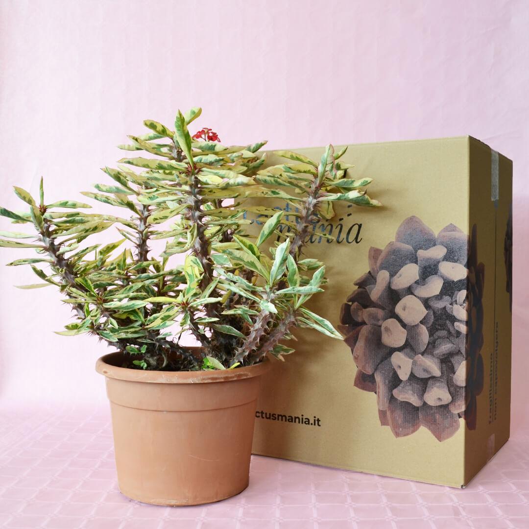 Euphorbia milii variegata vaso 25