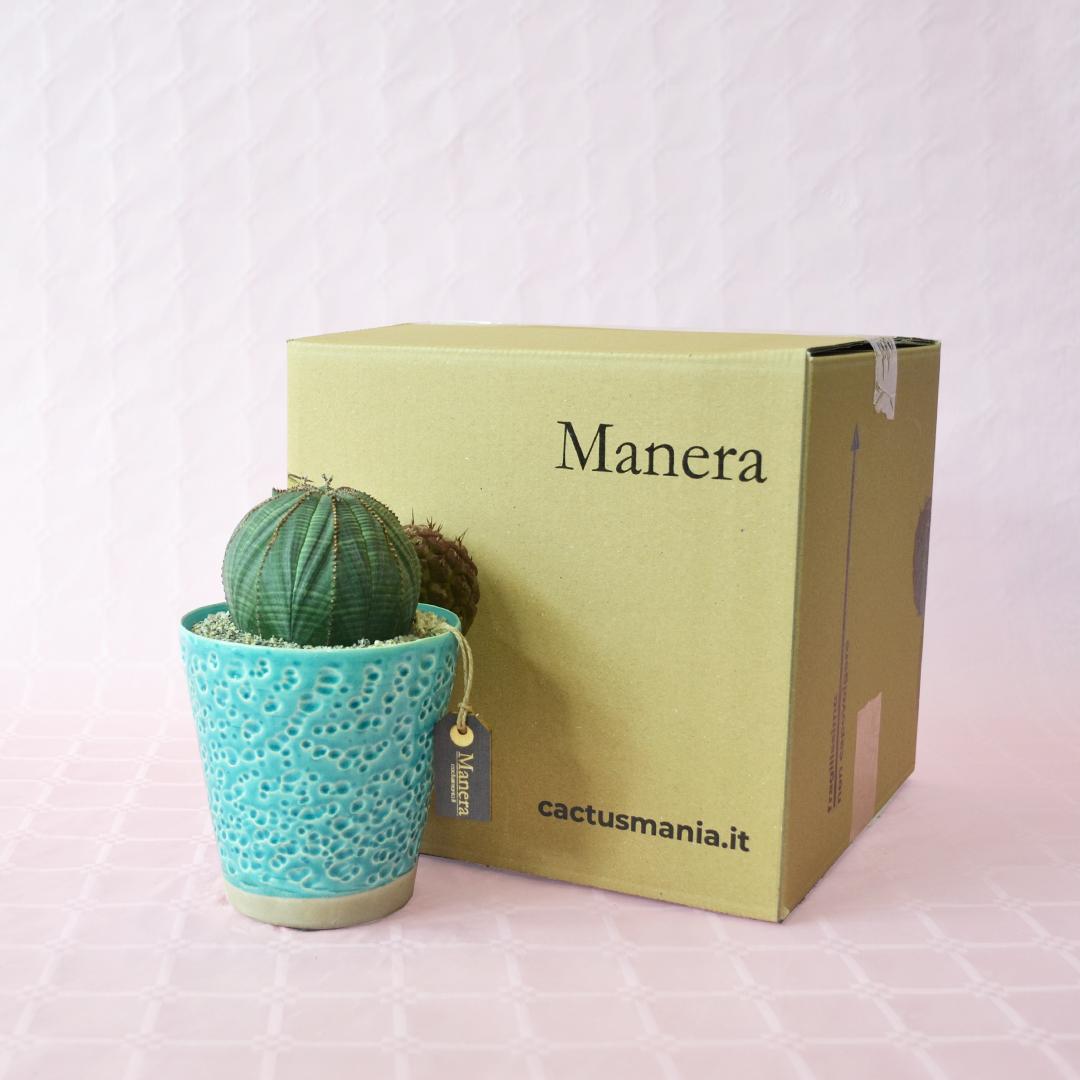 Euphorbia obesa - Linea Manera