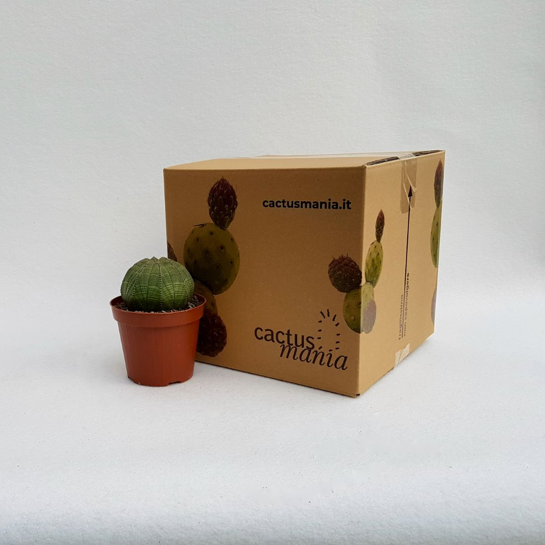 Euphorbia obesa vaso 12