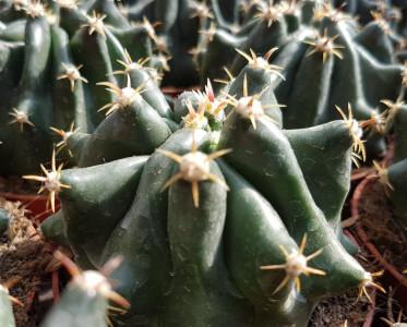 Ferocactus brevispinus f. monstruosa