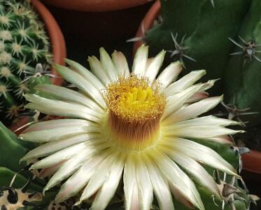 Ferocactus Fiore