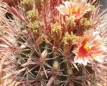 Ferocactus gracilis fiorito