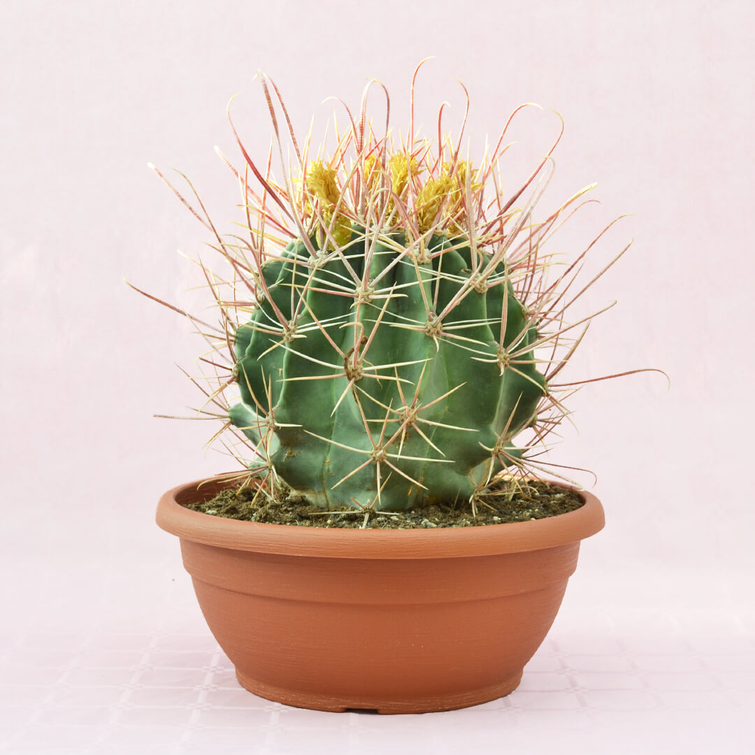 Ferocactus hybrid a vaso 30