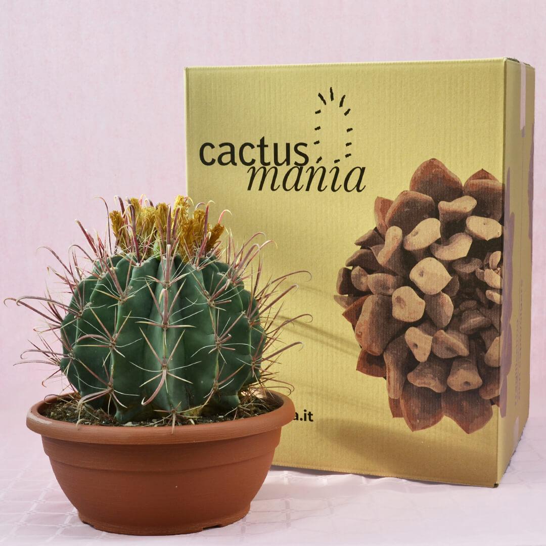 ferocactus hybrid b vaso 30