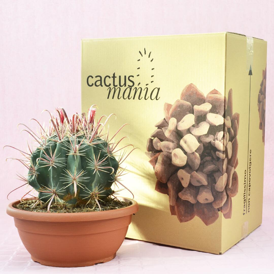 Ferocactus hybrid c vaso 30