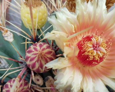 Ferocactus rectispinus fiorito