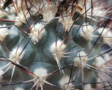 Gymnocactus gyelsdorfianus