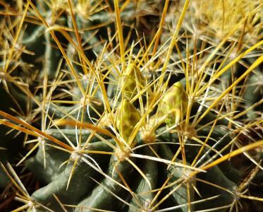 Hamatocactus setispinus
