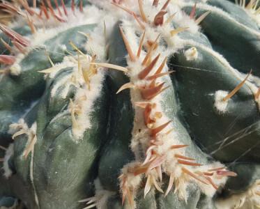Homalocephala texensis