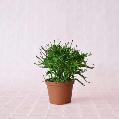 kalanchoe katapifa tarantula vaso 10,5