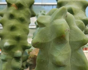 Lophocereus schotii major