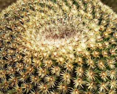 Mammillaria huitzilopochtli