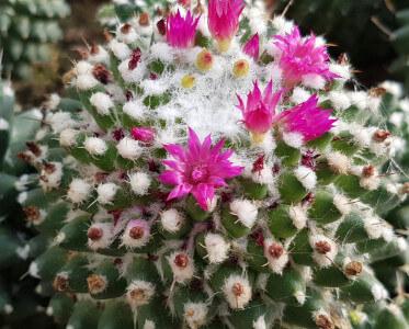 Mammillaria polythele Sin pico