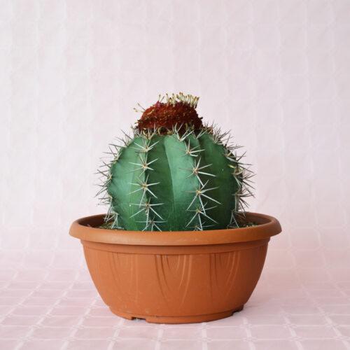 Melocactus matanzanus ciotola 25