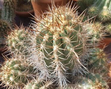 Pilocopiapoa solaris