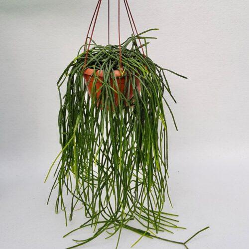 Rhipsalis pentaptera vaso 20 XL