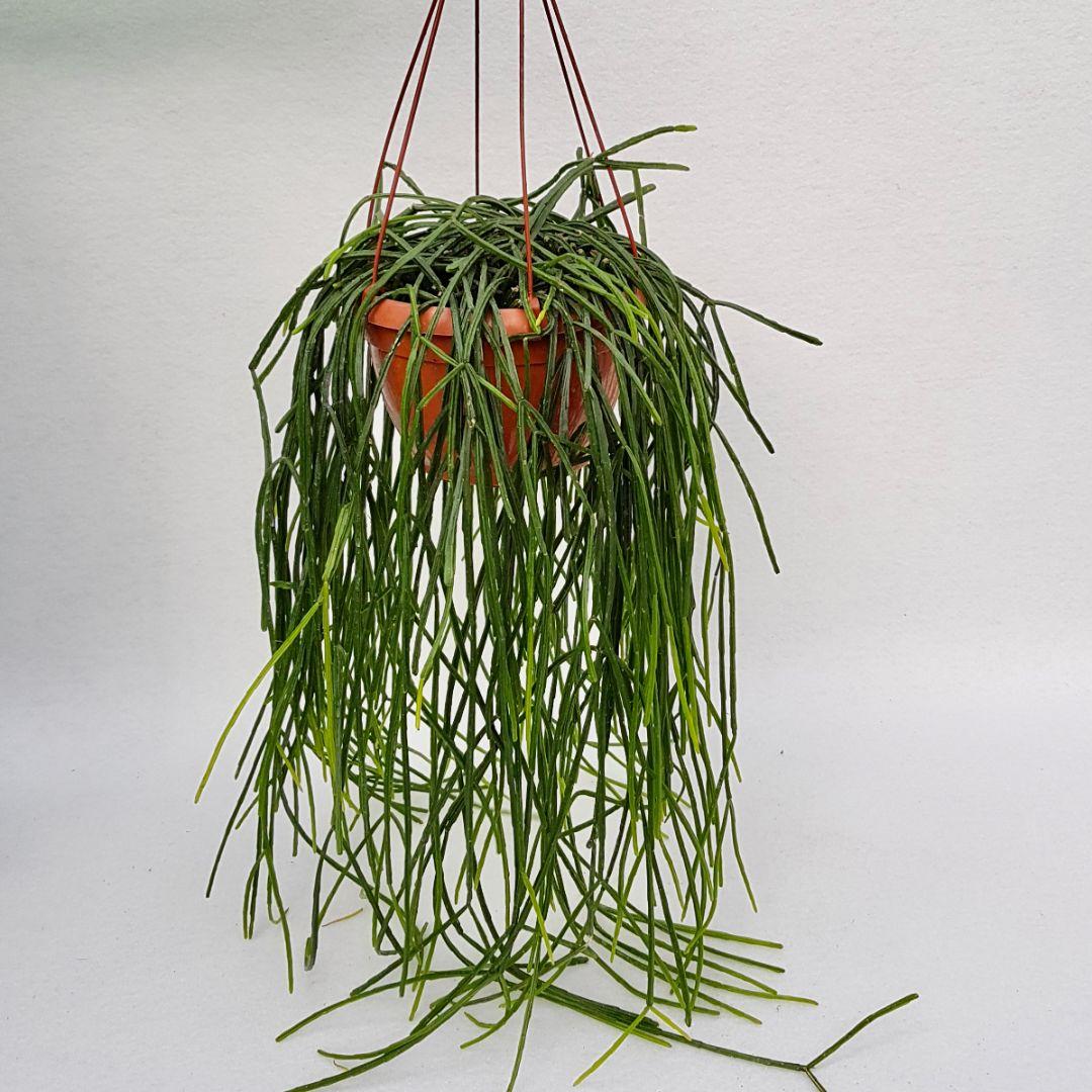 rhipsalis pentaptera vaso 20xl-1