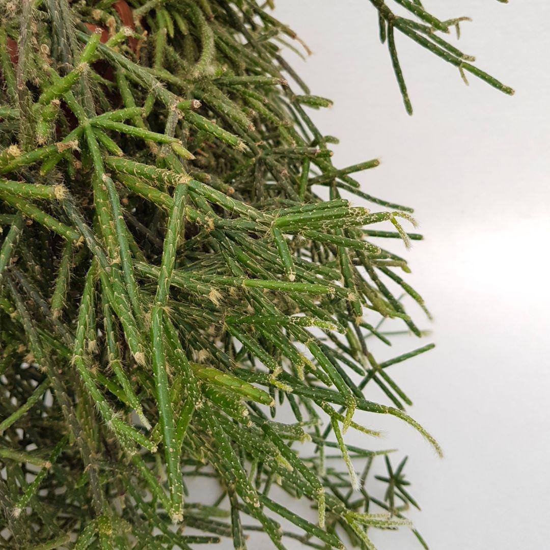 Rhipsalis pilocarpa vaso 20xl
