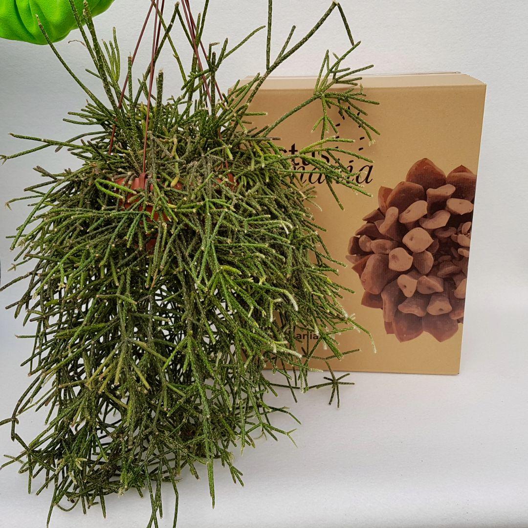 Rhipsalis pilocarpa vaso 20 XL