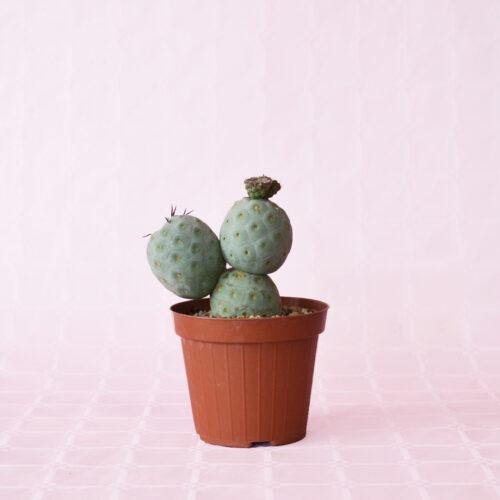 tephrocactus geometricus 3 palle vaso 12