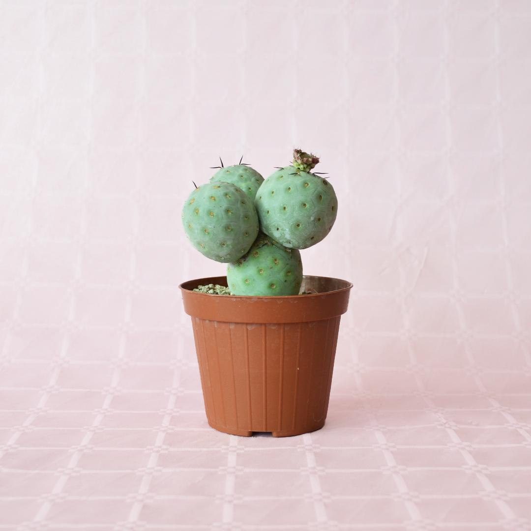 tephrocactus geometricus 4 palle vaso 12