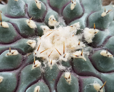 Thelocactus phymatothelos