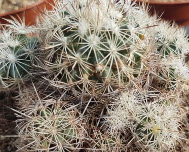 Turbinicarpus horripilus