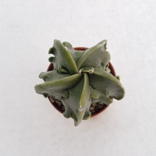 Astrophytum myriostigma fukuryu vaso 5,5 19A