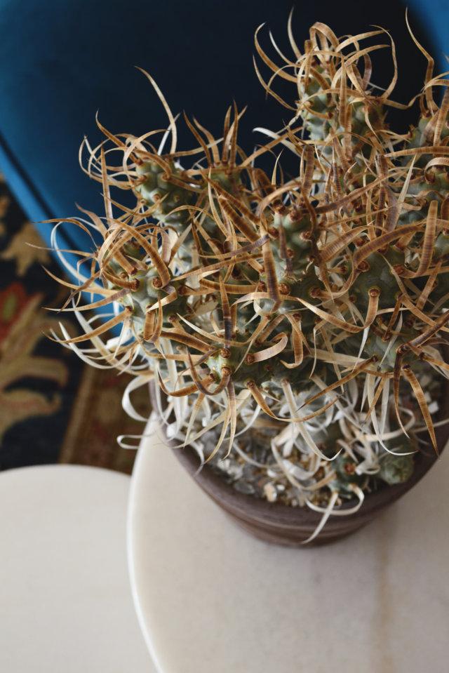 Tephrocactus articulatus papyracantha in vaso Choco per la Linea Manera