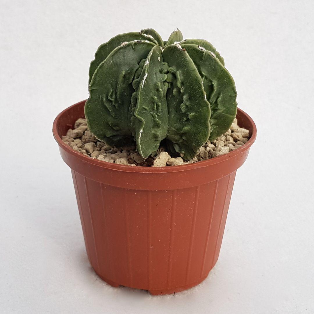 Astrophytum myriostigma fukuryu nudum vaso 10,5 08B