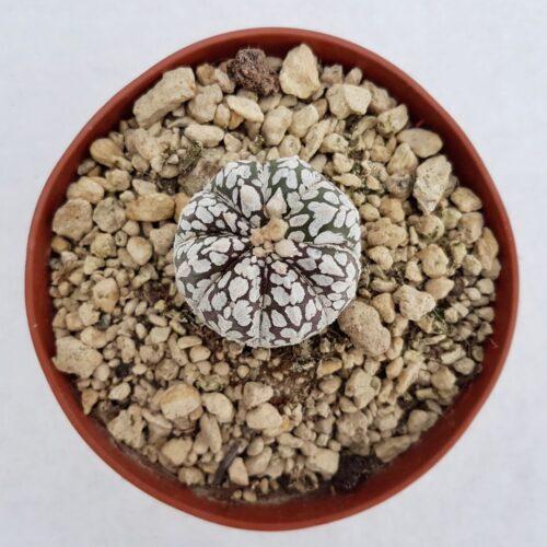 Astrophytum asterias superkabuto vaso 10,5 27B