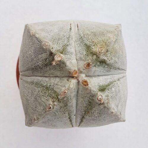 Astrophytum coahuilense quadricostatum vaso 16 05C