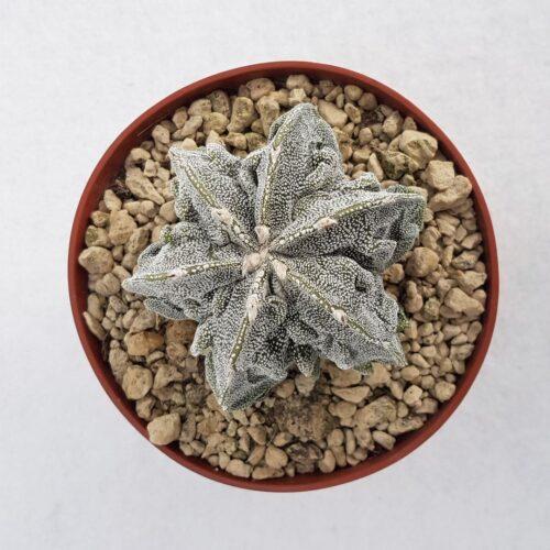 Astrophytum myriostigma fukuryu vaso 10,5 01B