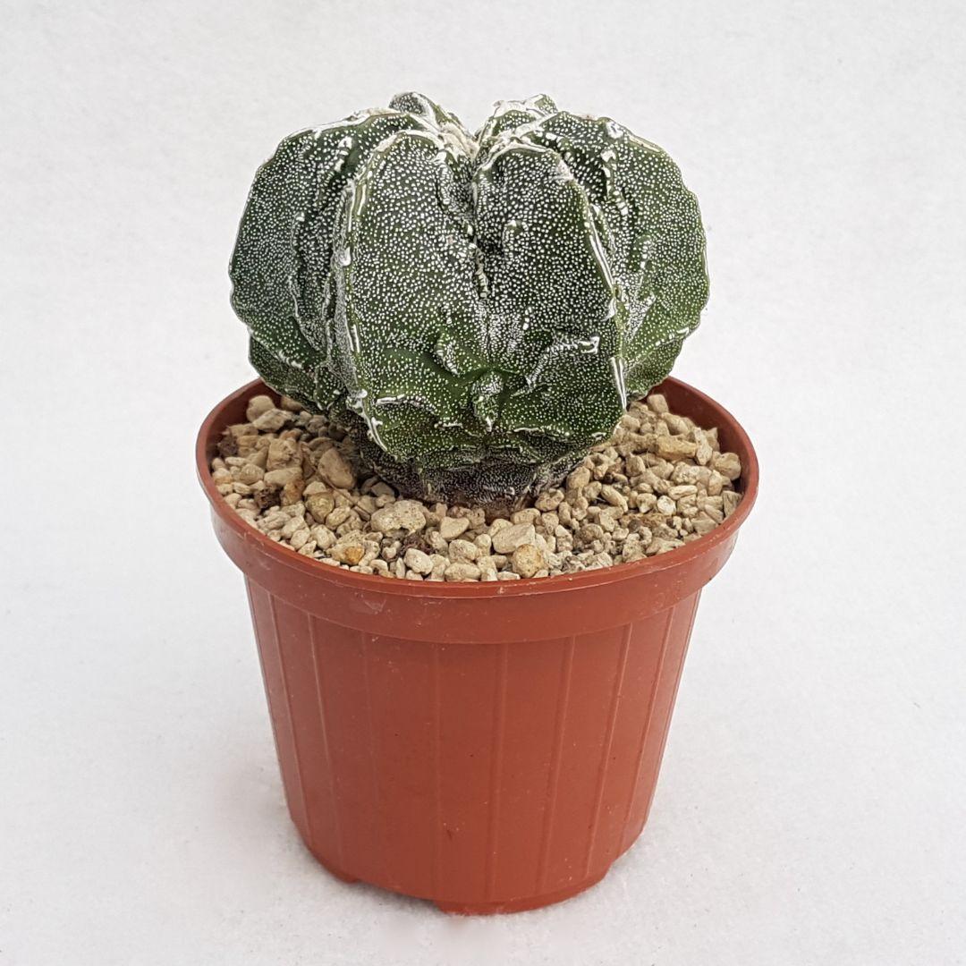 Astrophytum fukuryu haku jo vaso 10,5 02B