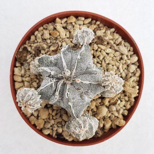 Astrophytum fukuryu haku jo vaso 10,5 15B