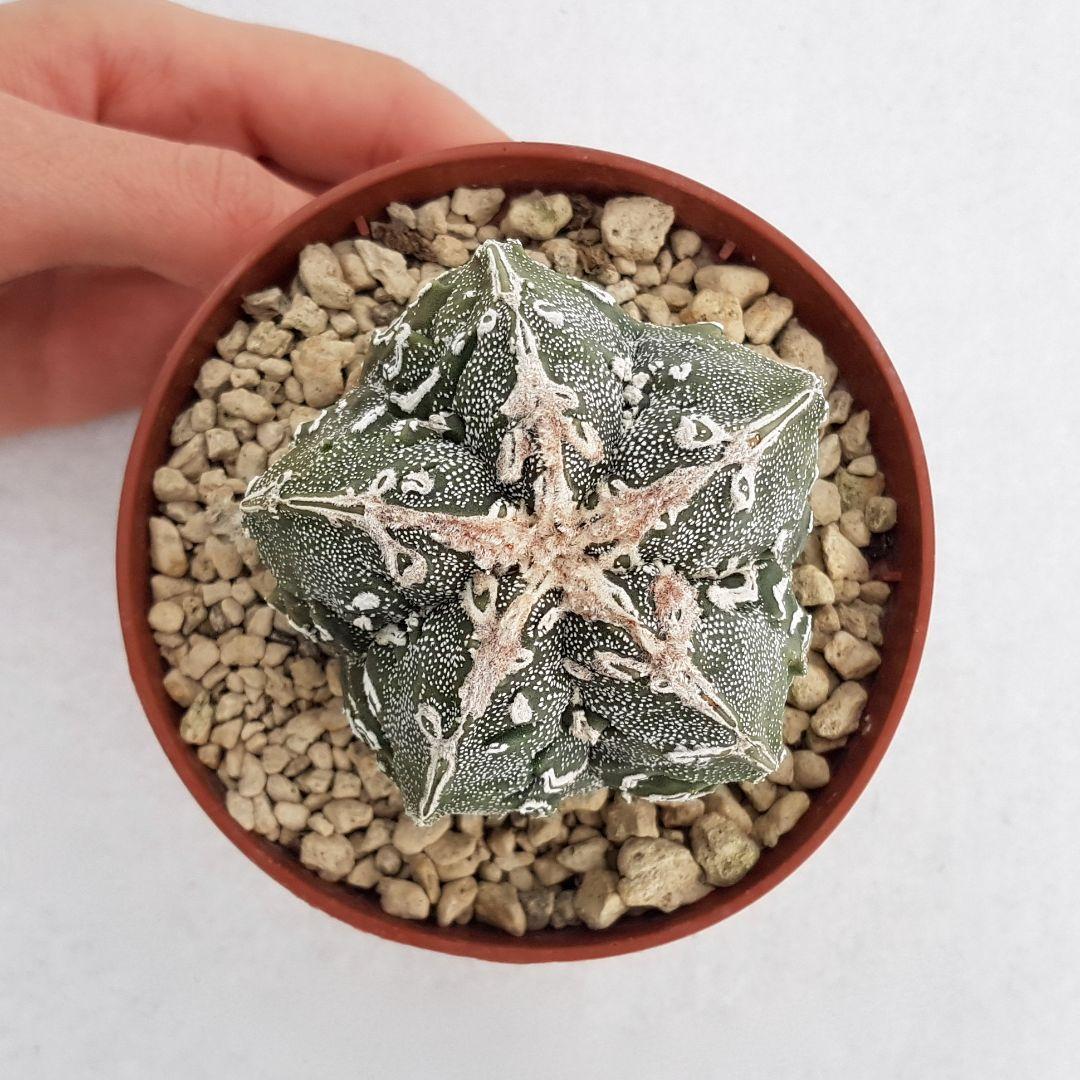 Astrophytum fukuryu haku jo vaso 10,5 16B