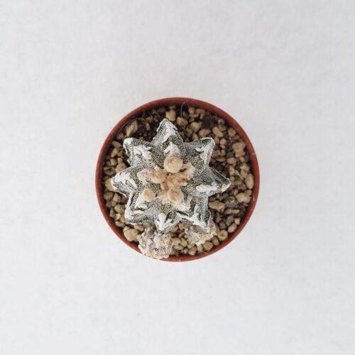 Astrophytum fukuryu haku jo vaso 5,5 06A