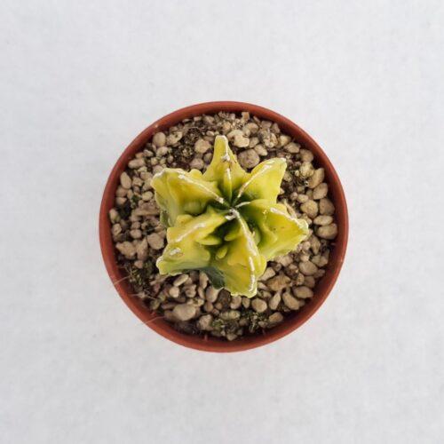 Astrophytum myriostigma fukuryu variegato vaso 5,5 25A