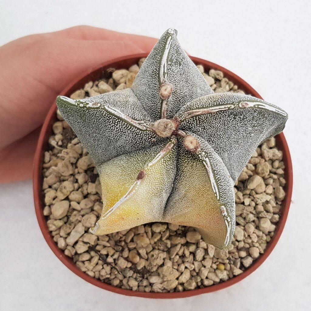 Astrophytum haku jo variegato vaso 10,5 26B