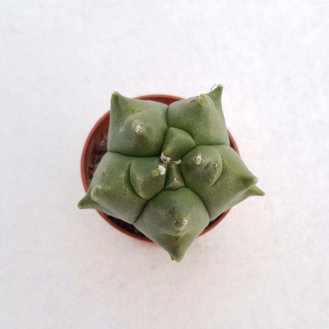 Astrophytum myrio kikko vaso 5,5 20A