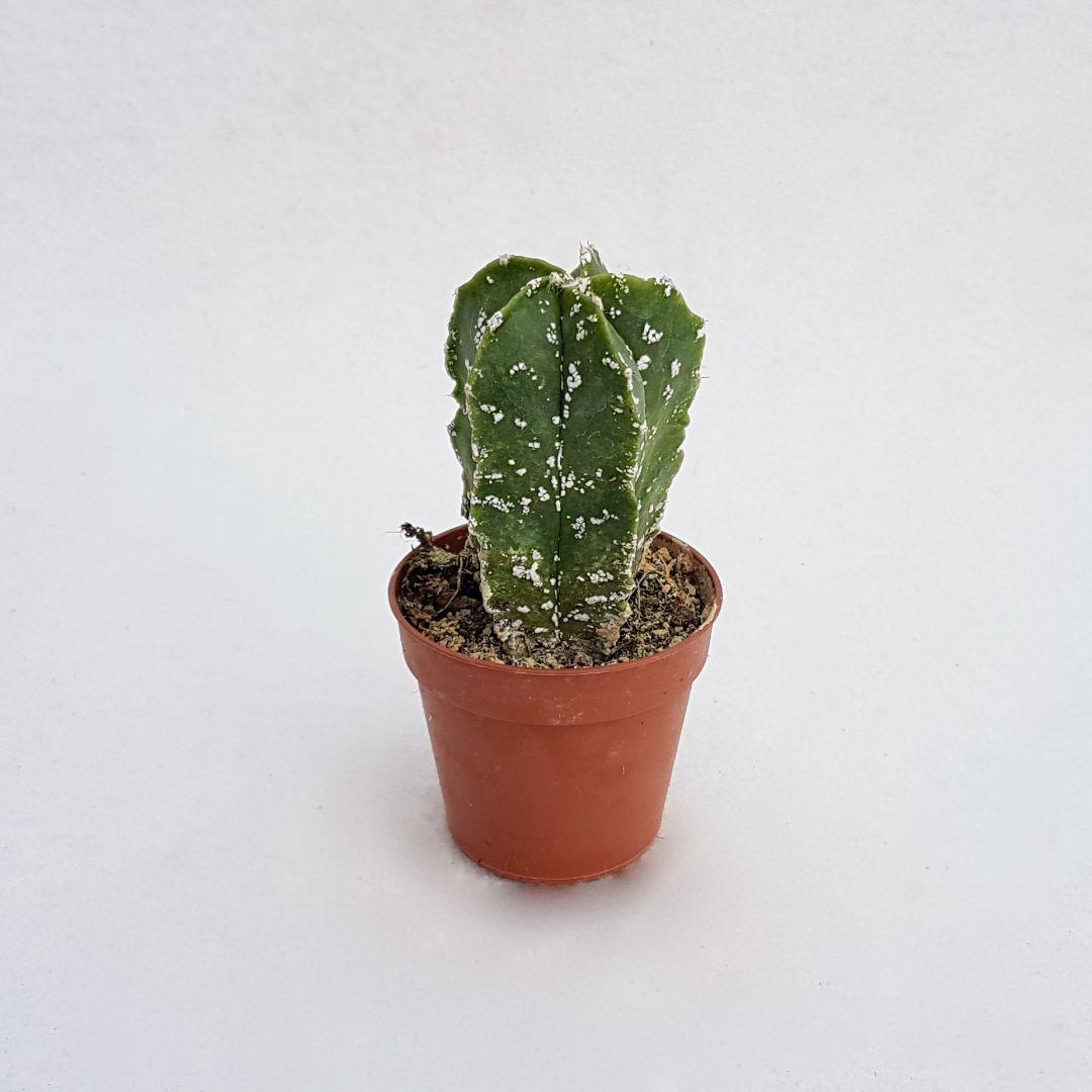 Astrophytum myriostigma cv hakuun 26A vaso 5,5
