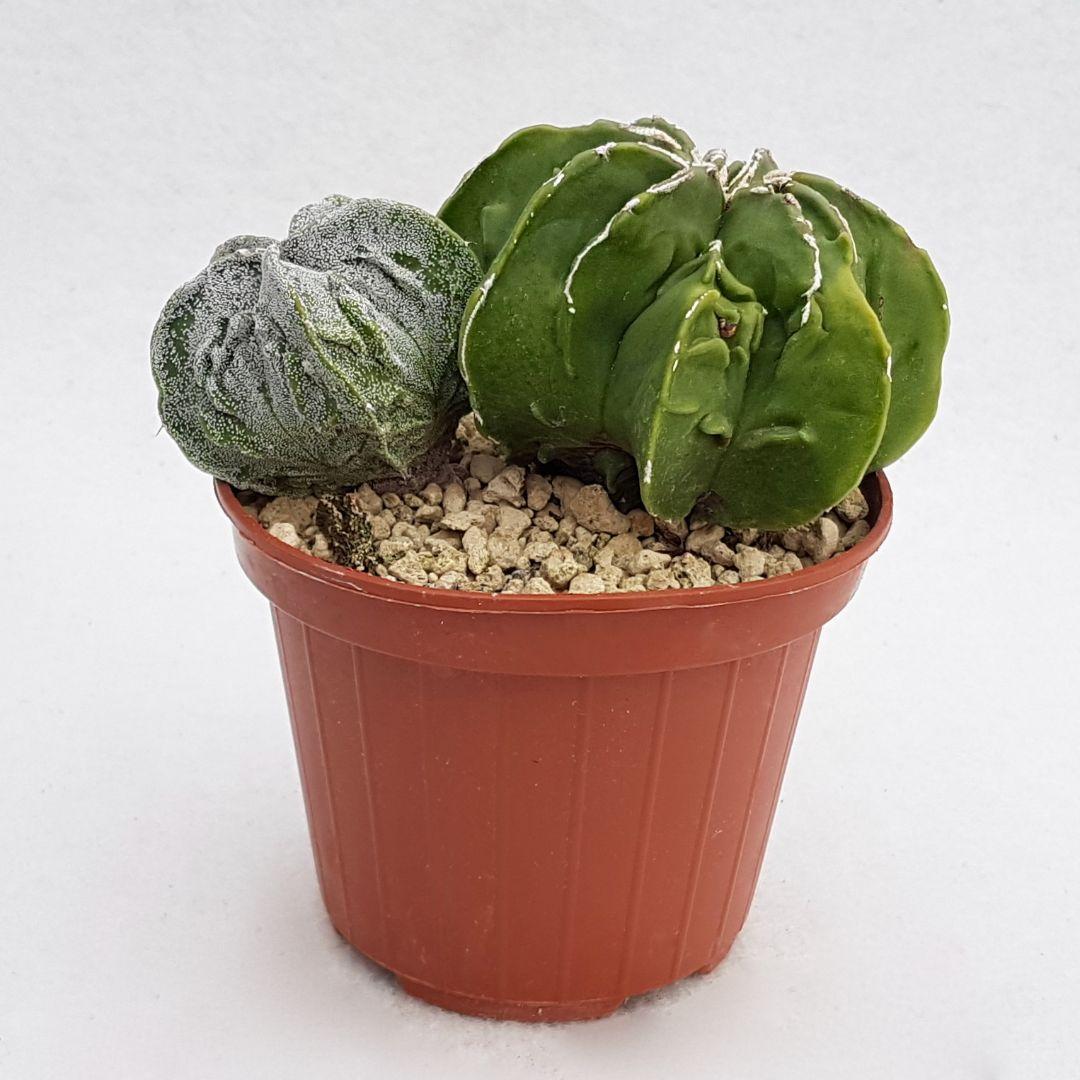 Astrophytum myriostigma fukuryu haku jo vaso 10,5 13B
