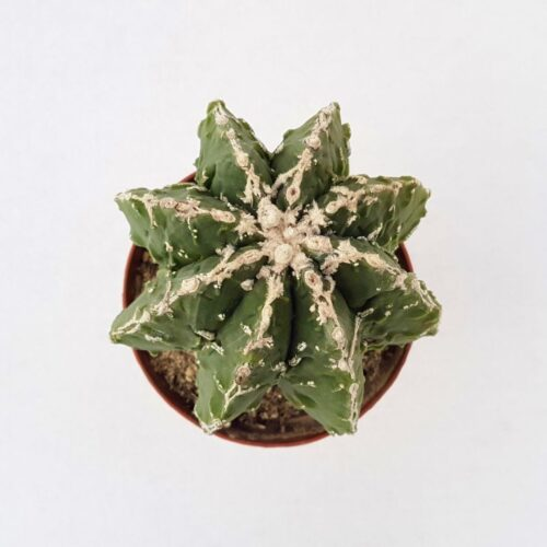 Astrophytum myriostigma fukuryu haku jo vaso 12 25C
