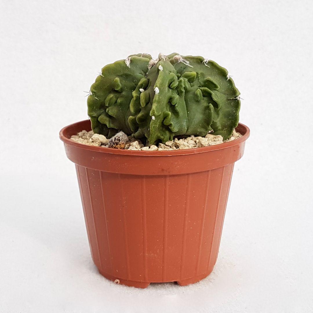 Astrophytum myriostigma fukuryu nudum vaso 10,5 07B