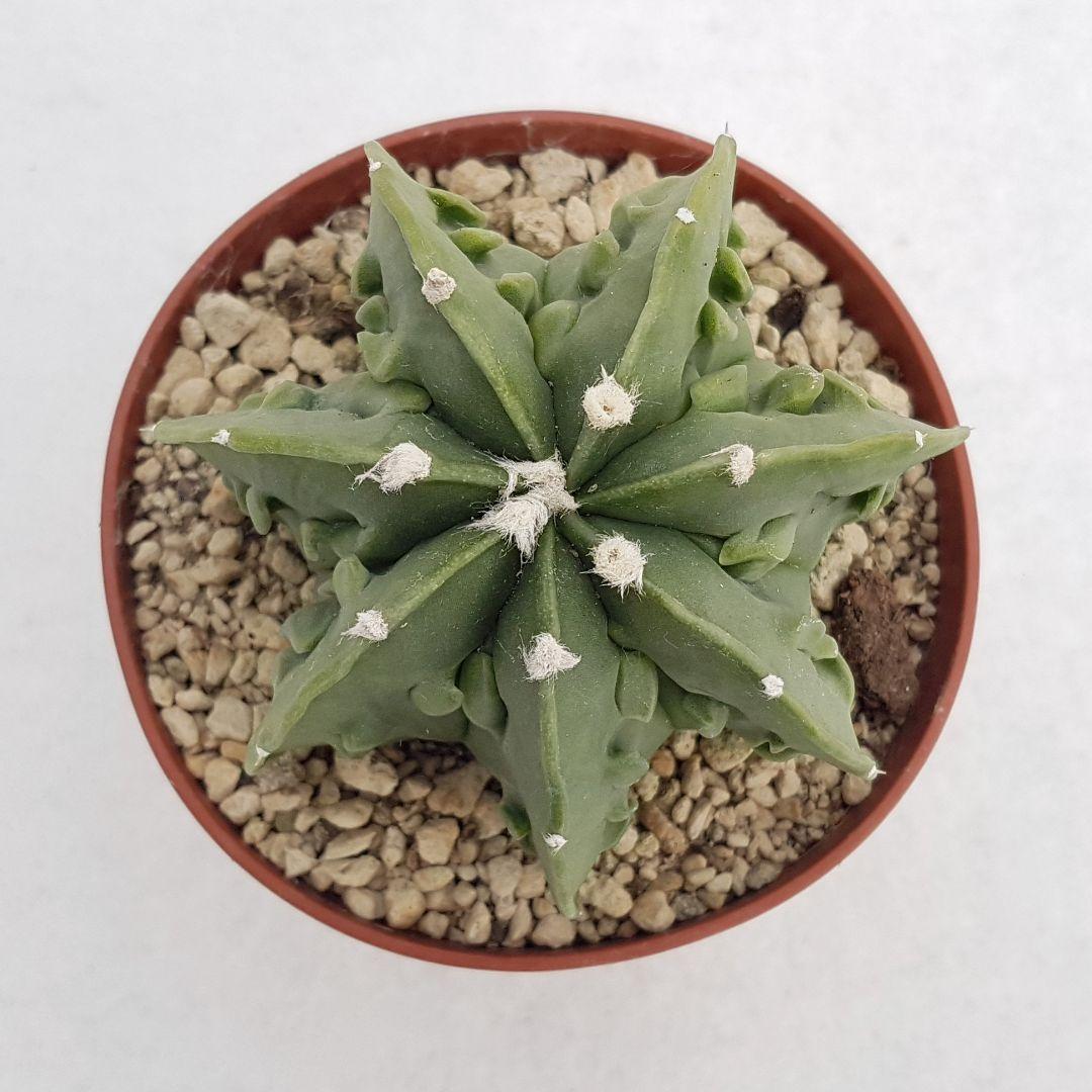 Astrophytum myriostigma fukuryu nudum vaso 10,5 10B