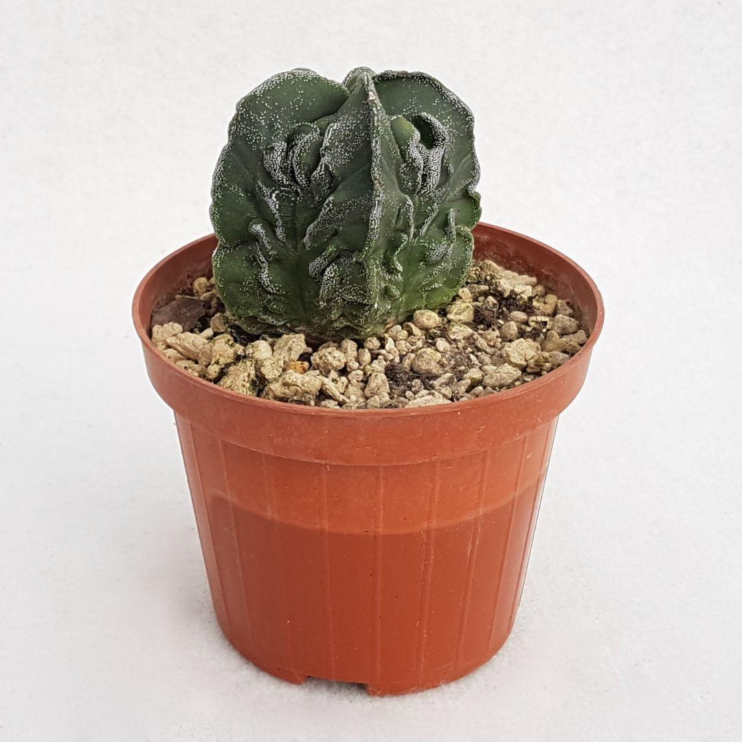 Astrophytum myriostigma fukuryu vaso 10,5 06B