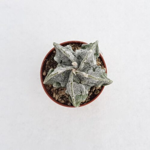 Astrophytum myriostigma fukuryu vaso 5,5 10A